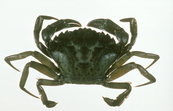 The European Green Crab