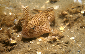 Adult and Juvenile Spotted Handfish [ID:2753]