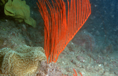 Tropical benthos Gorgonian