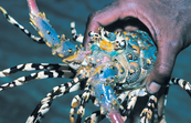 Panulirus ornatus - The ornate or tropical rock lobster