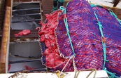 Fishermen haul a catch of orange roughy aboard a fishing vessel