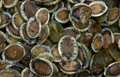 Cultured abalone [ID:7550]