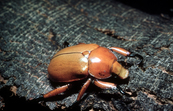 Christmas Beetle of Scarabaeidae Family