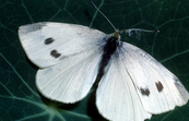 Cabbage White Butterfly, Pieridae Family