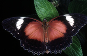 Red Lacewing Butterfly, Nympahlidae Family