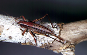 A Requena grasshopper [ID:182]