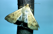 Helicoverpa punctigera Moth