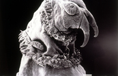 Screw Worm Fly Larvae Through Electron Microscope