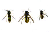 Hierarchy of European Wasps [ID:56]
