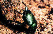 A Dung Beetle Gathering Dung [ID:34]