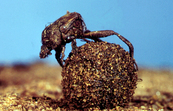 A Member of the Dung beetle Family