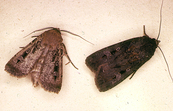 Two Bogong Moths