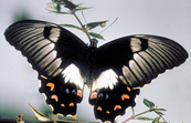 Large Cirtus Butterfly/Orchard Butterfly