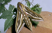 Grapevine hawk moth