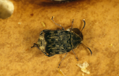 The Bean Weevil