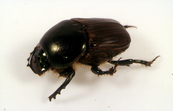 Dung beetle Onitis alexis