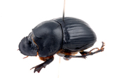 Dung beetle, Copris elphenor (female)