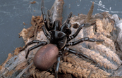 A Female Funnel Web Spider [ID:2226]