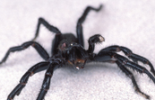 A Male Funnel Web Spider