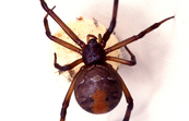 Red Back Spider With an Egg Sack