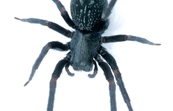 A Black House Spider [ID:2018]