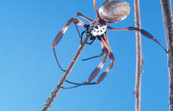 Golden Orb Weaving Spider [ID:2408]