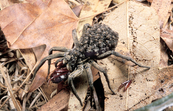Spiderlings Riding on Godeffroy Wolf Spider Mother [ID:2390]