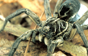 Godeffroy's Wolf Spider and her Egg Sac [ID:2263]