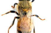 An Adult Female Worker Honey Bee