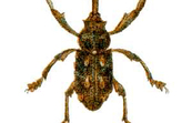 An Elephant Weevil