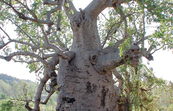 Boab tree (Adansonia gregorii) in Gregory national park NT