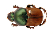 Bronze dung beetle, <I>Onitis alexis</I>