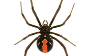 A red backed spider [ID:1496]