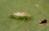 A green mirid, Creontiades dilutus [ID:1820]