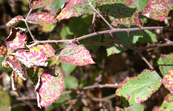 Blackberry plants infected with rust fungus [ID:3160]