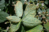 Blackberry plants infected with rust fungus [ID:3161]