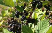 Blackberry plants infected with rust fungus
