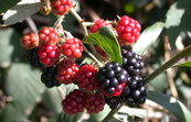 Blackberry fruit [ID:3621]