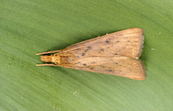Waterhyacinth stalk borer - Xubida infusella