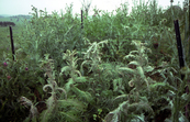 Damage caused to Scotch thistle (Onopordum sp) by the biological control agent Lixus cardui, a weevil.