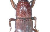 The Granary Weevil, Sitophilus granarius