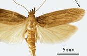 Adult Rice Moth