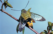 Bee hawk moth [ID:3872]