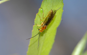 Adult willow sawfly [ID:7108]