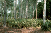 Pineapples and Eucalypts Grown Together