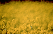 Close up of Canola Crop [ID:252]