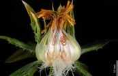Dissected flower of Safflower plant [ID:11351]