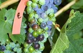 Cabernet Sauvignon grapes showing the distinctive patterns of uneven ripening, with some berries fully coloured while others remain green