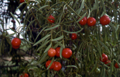 Fruit on the Quandong Tree [ID:2079]