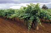 Four new wine grapevine rootstock varieties have been released by CSIRO's rootstock breeding program.